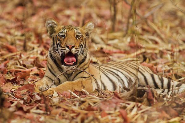 Yawn Photograph - Royal Bengal Tiger Cub Yawning, Tadoba by Jagdeep Rajput