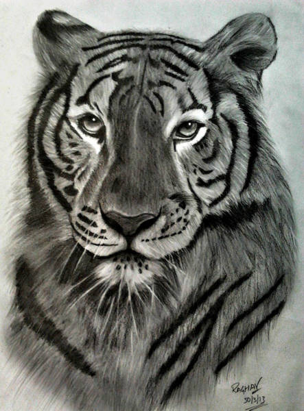 Bengal Tiger Drawing - Royal Bengal Tiger's Pride by Raghav Ram