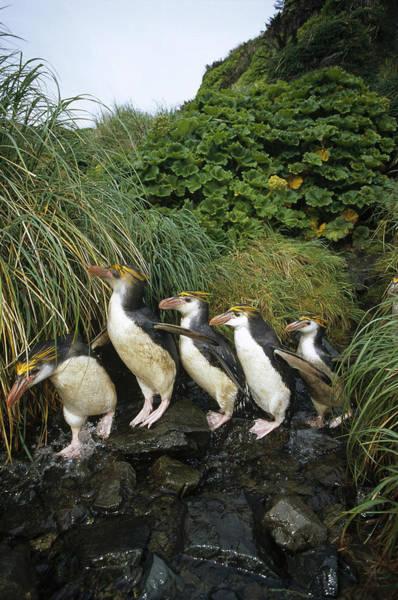 Royal Colony Photograph - Royal Penguins Commuting Macquarie Isl by Tui De Roy