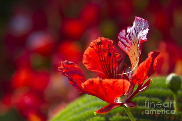 Photograph - Royal Poinciana - Flamboyant - Delonix Regia by Sharon Mau