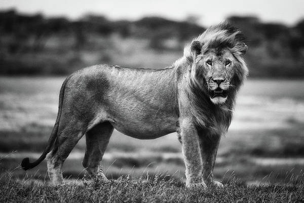 Mane Wall Art - Photograph - Royal Pose by Mohammed Alnaser