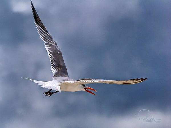 Photograph - Royal Tern 1 by Ludwig Keck
