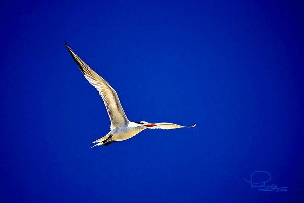 Photograph - Royal Tern 2 by Ludwig Keck