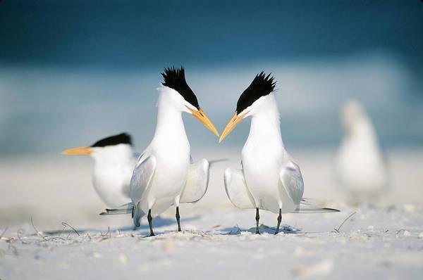 Photograph - Royal Terns by Paul J. Fusco