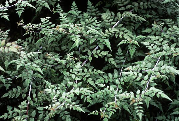 Silvery Photograph - Rubus Foliage (rubus Thibetanus) by Adrian Thomas/science Photo Library