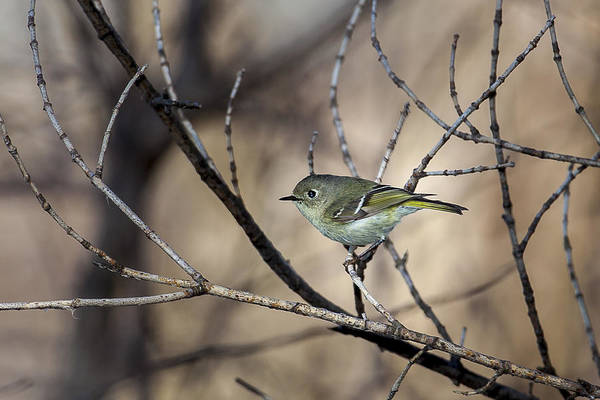 Photograph - Ruby-crowned Kinglet by Jack R Perry