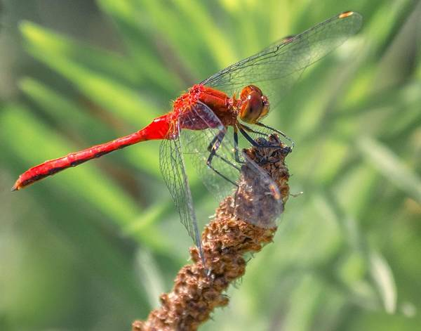 Photograph - Ruby Meadowhawk Dragonfly by Richard Kopchock