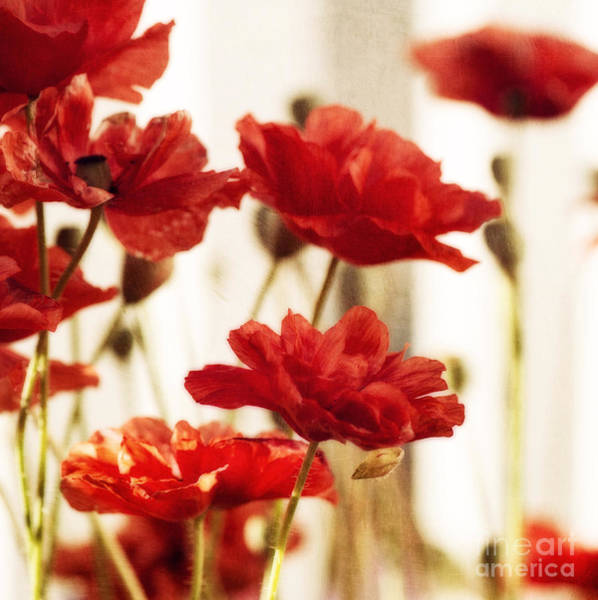 Negative Space Photograph - Ruby Red Poppy Flowers by Priska Wettstein