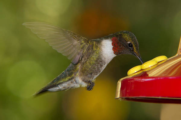 Ruby-throat Hummer Sipping Art Print
