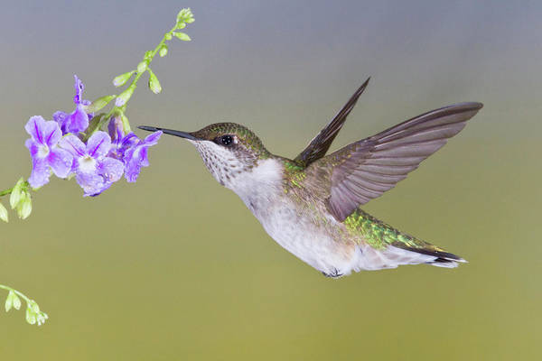 Hidalgo Photograph - Ruby-throated Hummingbird (archilochus by Larry Ditto