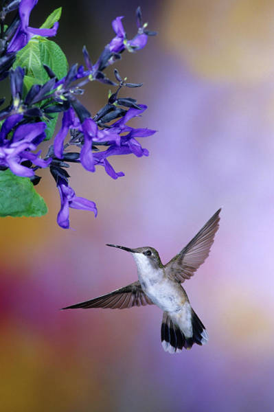 Wall Art - Photograph - Ruby-throated Hummingbird (archilochus by Richard and Susan Day
