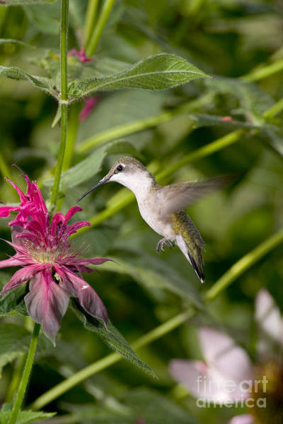 Photograph - Ruby-throated Hummingbird by Gregory K Scott