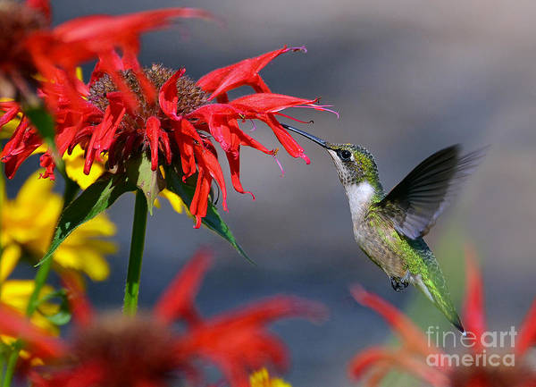 Photograph - Ruby Throated Hummingbird In A Flower Garden by Rodney Campbell
