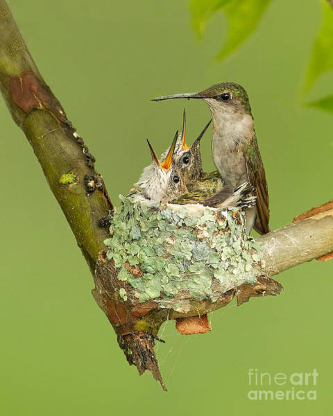 Joshua Clark Photograph - Ruby-throated Hummingbird by Joshua Clark