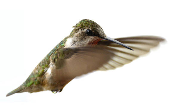 Photograph - Ruby Throated Hummingbird by Walt Sterneman
