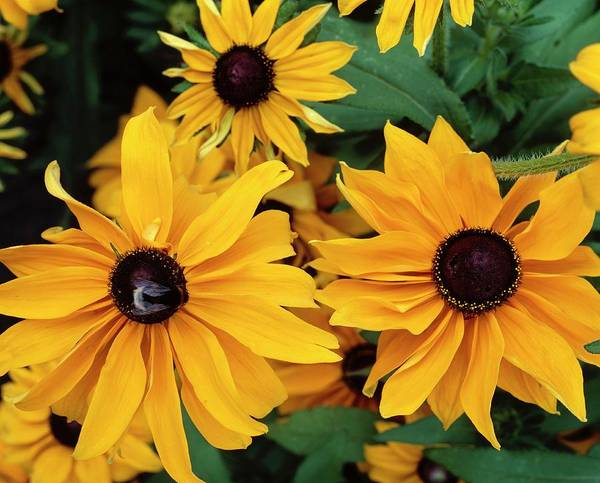 Biennial Photograph - Rudbeckia Hirta Marmalade by The Picture Store/science Photo Library