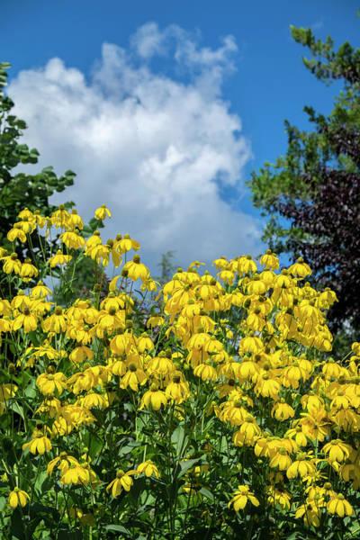 Asteraceae Photograph - Rudbeckia Hirta, Usa by Lisa S. Engelbrecht