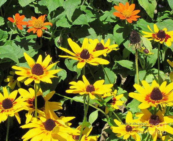 Photograph - Rudbeckia by Kathie Chicoine