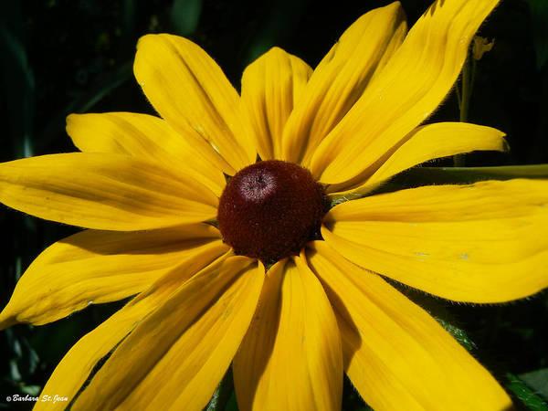 Photograph - Rudbeckia Macro by Barbara St Jean