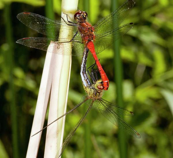 Odonata Photograph - Ruddy Darter Dragonflies Mating by Bob Gibbons