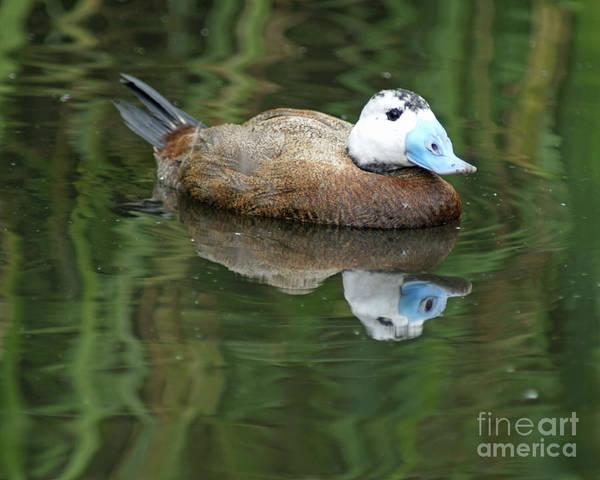 Photograph - Ruddy Duck by David Birchall