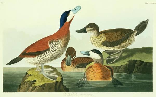 Wall Art - Photograph - Ruddy Duck by Natural History Museum, London/science Photo Library