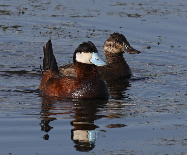 Horicon Marsh Photograph - Ruddy Duck Pair by Mark Wallner