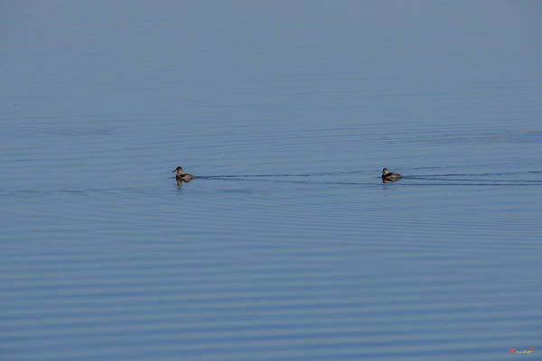 Photograph - Ruddy Ducks Leaving Wakes Dwf124 by Gerry Gantt