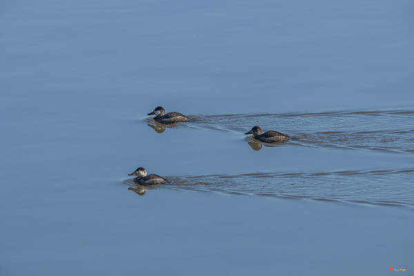 Photograph - Ruddy Ducks Leaving Wakes Dwf126 by Gerry Gantt