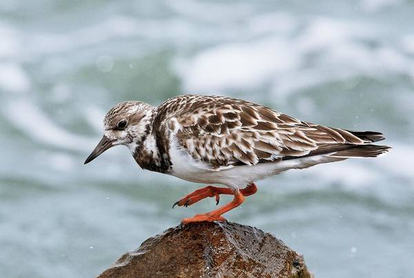 Scolopacidae Photograph - Ruddy Turnstone by Bob Gibbons/science Photo Library