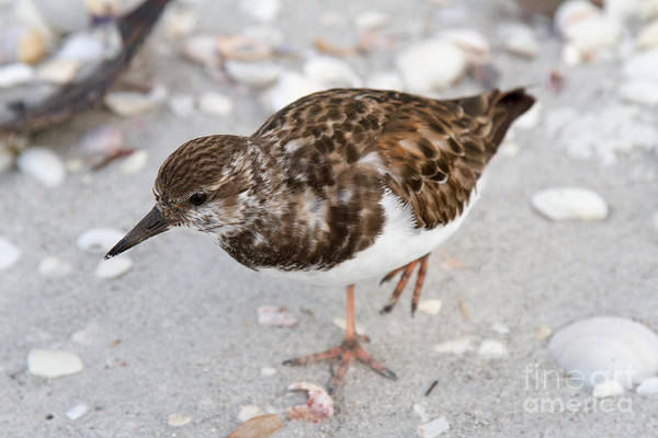 Photograph - Ruddy Turnstone by Chris Scroggins