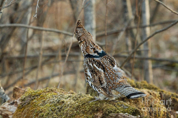 Ruffed Grouse Photograph - Ruffed Grouse Concealing From Predators by Linda Freshwaters Arndt