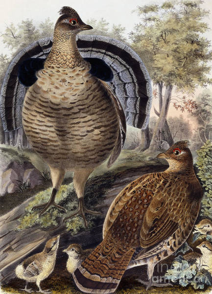 Chick Painting - Ruffed Grouse by Daniel Girard Elliot