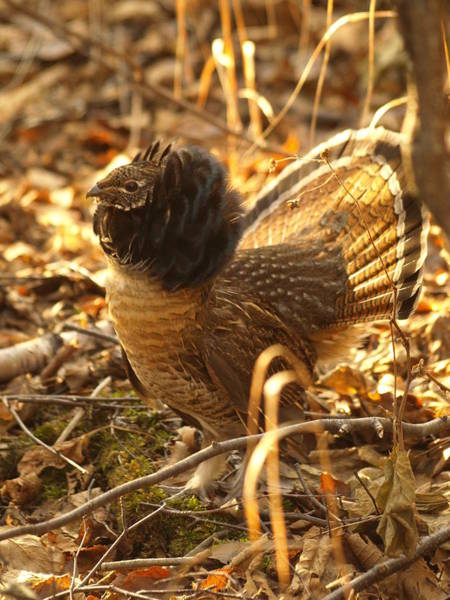 Ruffed Grouse Photograph - Ruffed Grouse Display by James Peterson