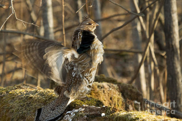 Ruffed Grouse Photograph - Ruffed Grouse Drumming by Linda Freshwaters Arndt