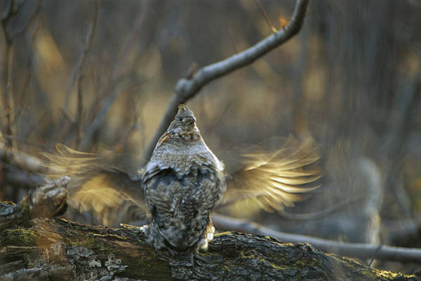 Ruffed Grouse Photograph - Ruffed Grouse Male Drumming by Michael Quinton