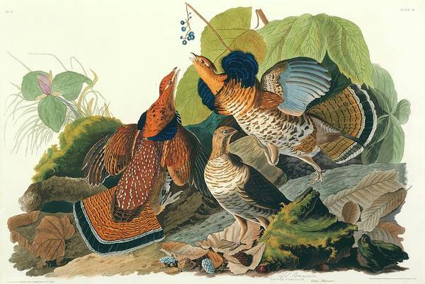 Ruffed Grouse Photograph - Ruffed Grouse by Natural History Museum, London/science Photo Library