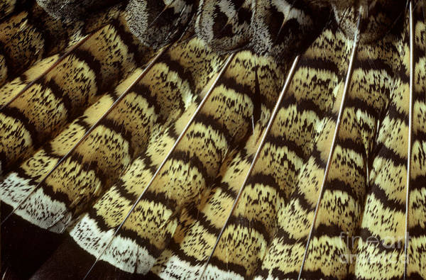 Ruffed Grouse Photograph - Ruffed Grouse Tail Feathers by William H. Mullins