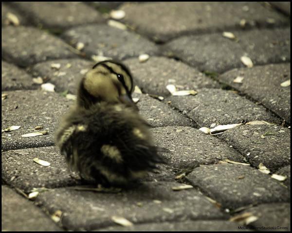Duck Meat Photograph - Ruffled Feathers Spring Duckling  by LeeAnn McLaneGoetz McLaneGoetzStudioLLCcom