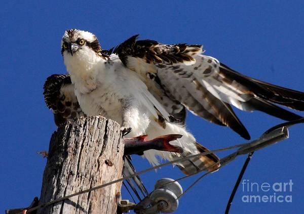 Fish Eagle Photograph - Ruffled by Quinn Sedam