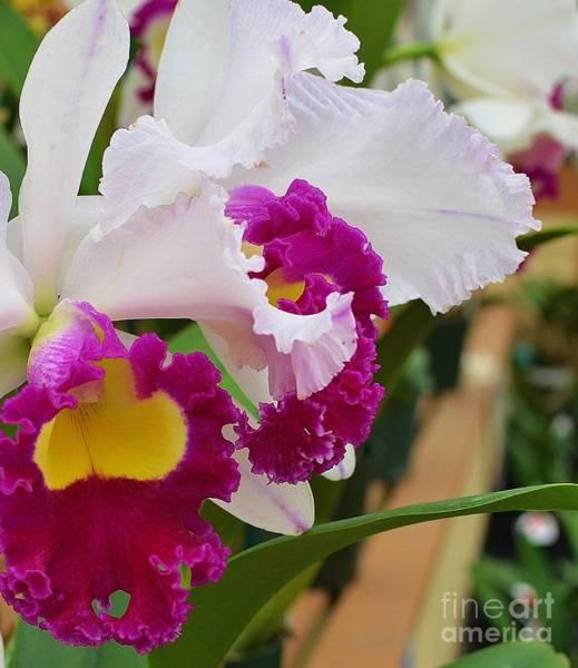 Ohau Wall Art - Photograph - Ruffled Ruby Orchid by Brenda Dorman