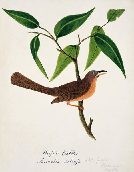 Rufous Photograph - Rufous Babbler by Natural History Museum, London/science Photo Library