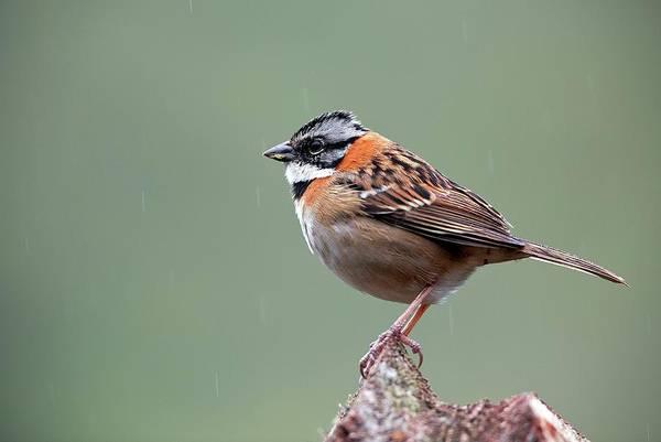 Rufous Photograph - Rufous-collared Sparrow by Nicolas Reusens