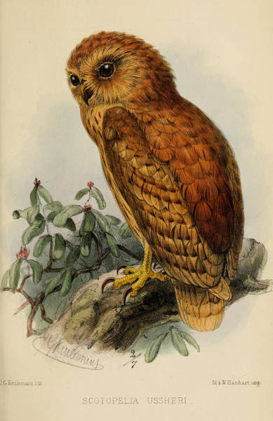 Owl Painting - Rufous Fishing Owl by Dreyer Wildlife Print Collections