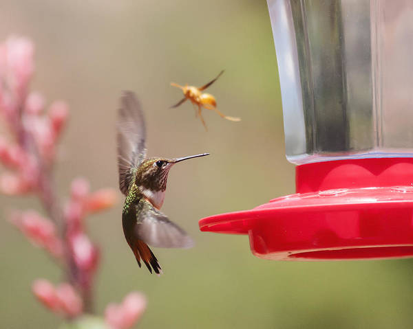 Photograph - Rufous Hummingbird And Wasp by Lee Kirchhevel
