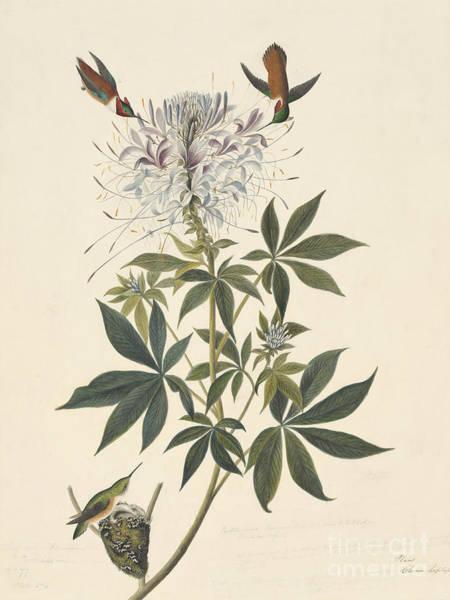 Selasphorus Drawing - Rufous Hummingbird  by Celestial Images