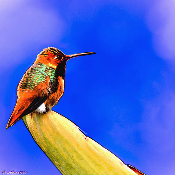 Painting - Rufous Hummingbird Painting by Bob and Nadine Johnston