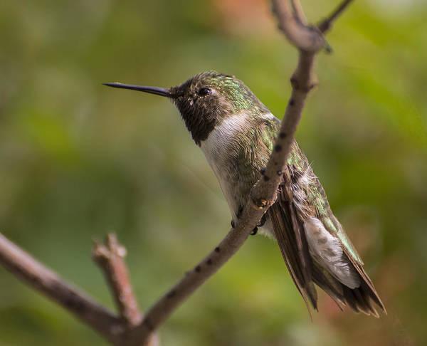 Photograph - Rufous Hummingbird by Penny Lisowski