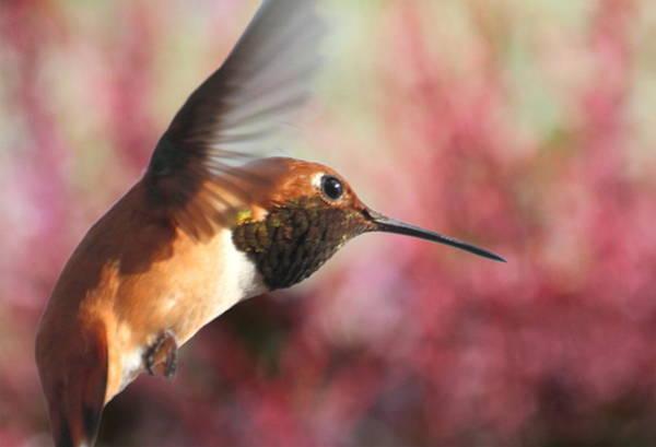 Rufous Photograph - Rufous Hummingbird Wonder by Angie Vogel
