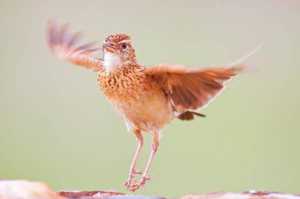 Behaviour Photograph - Rufous-naped Lark Displaying by Peter Chadwick/science Photo Library